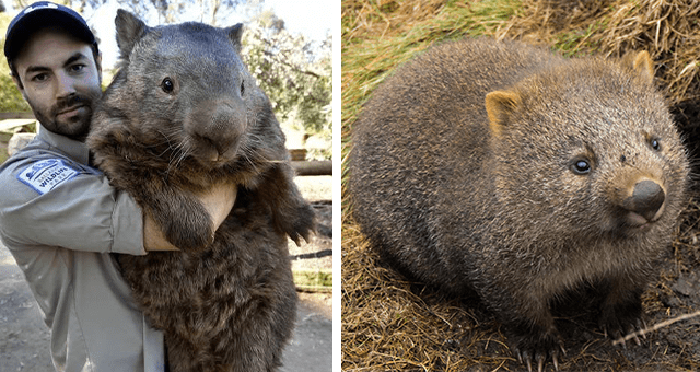 story about wombats saving other animals by letting them drink from their waterholes thumbnail includes two pictures of wombats