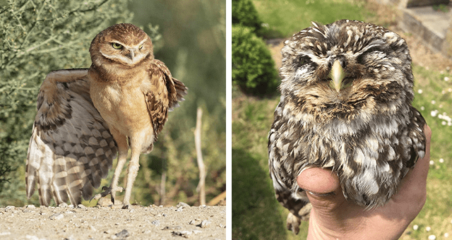 pictures of owls for Super Bowl Sunday thumbnail includes two pictures including an owl striking a pose and a baby owl held in someone's hand