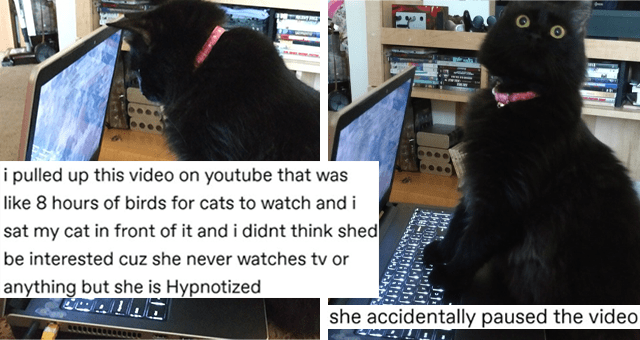 tumblr thread about cats being confused by watching bird videos thumbnail includes two pictures of a black cat watching a laptop screen including one where the cat is super surprised 'Rectangle - muckkles Follow i pulled up this video on youtube that was like 8 hours of birds for cats to watch and i sat my cat in front of it and i didnt think shed be interested cuz she never watches tv or anything but she is Hypnotized Cat - she accidentally paused the video 101-1-'