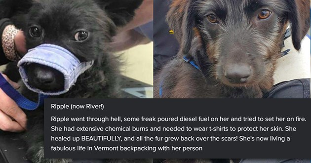 "imgur user shares all the progress photos of animals she fostered in 2020 - thumbnail dog before and after ""Ripple went through hell, some freak poured diesel fuel on her and tried to set her on fire. She had extensive chemical burns and needed to wear t-shirts to protect her skin. She healed up BEAUTIFULLY, and all the fur grew back over the scars! She's now living a fabulous life in Vermont backpacking with her person"""""