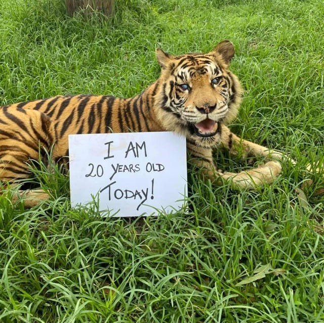 "pics and vids of the cutest animals of the week - thumbnail of beautiful old tiger ""i am 20 years old today!"""