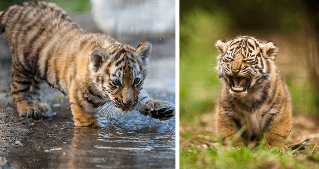 pictures of tiger cubs thumbnail includes two pictures of tiger cubs including one of a tiger cub playing in a puddle and another of a tiger cub yawning