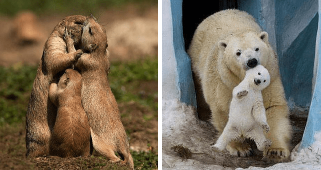 pictures of animal relationships thumbnail includes two pictures one of a family of otters hugging and another of a polar bear and a polar bear cub