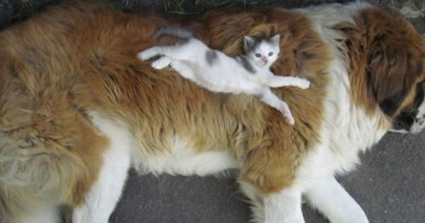 cute and funny pictures of cats using dogs as pillows and dogs using cats as blankets.