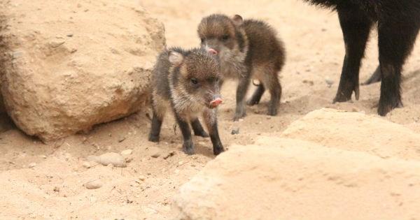 Babies,peccary,pig,zoo,cute