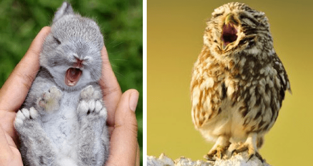 tweets and pictures of baby animals yawning thumbnail includes two pictures including a bunny yawning and an owl yawning