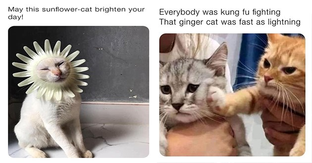 "fresh cat memes - thumbnail includes two cat memes one of cat with flowers around its head ""may this sunflower cat brighten your day!"" and a cat punching another cat ""everyone was kung fu fighting that ginger cat was fast as lightning"""