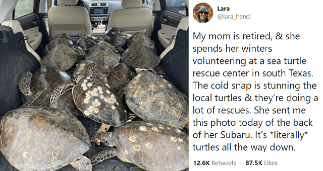 viral tweets about mom helping to rescue over 1000 turtles thumbnail includes a picture of a car full of turtles and one tweet 'Car - Lara ... @lara_hand My mom is retired, & she spends her winters volunteering at a sea turtle rescue center in south Texas. The cold snap is stunning the local turtles & they're doing a lot of rescues. She sent me this photo today of the back of her Subaru. It's *literally* turtles all the way down. 1:39 AM - Feb 16, 2021 · Twitter for iPhone 12.4K Retweets 1,661 '