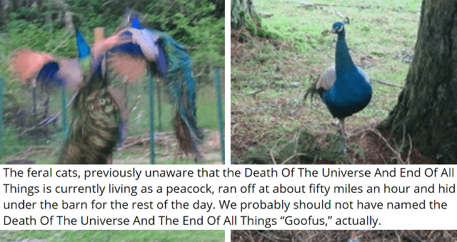 "tumblr posts about a jerk peacock that scares everyone thumbnail includes two pictures including to peacocks mid-flight and another peacock 'The feral cats, previously unaware that the Death Of The Universe And End Of All Things is currently living as a peacock, ran off at about fifty miles an hour and hid under the barn for the rest of the day. We probably should not have named the Death Of The Universe And The End Of All Things ""Goofus,"" actually.'"