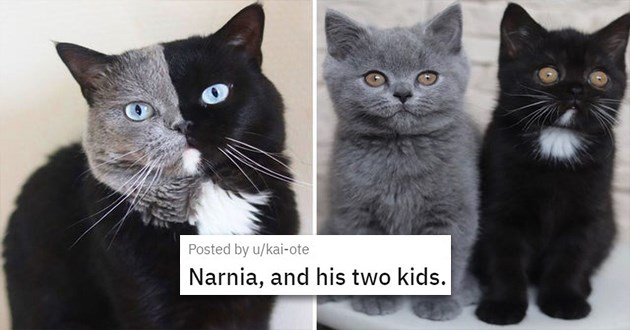 "cat medley filled with cuteness, laughs, mourning and loss - thumbnail of cat with two different colors split on his face and his two kittens ""Narnia, and his two kids."""