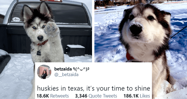 viral tweets about huskies loving the freshly-fallen snow in Texas thumbnail includes two pictures of husky puppies in snow and a tweet 'Font - betzaida 9(^^)S ... @ betzaida huskies in texas, it's your time to shine let me see your puppies 5:49 PM · Feb 15, 2021 Twitter for iPhone 18.5K Retweets 3,345 Quote Tweets 185.9K Likes'