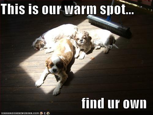 cavalier king charles spaniel selfish shihtzu sunbathing warm - 1362984704