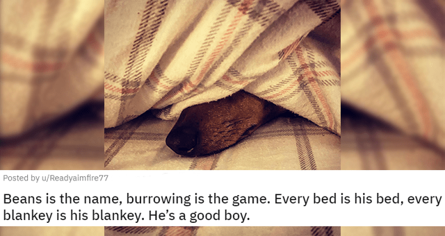 reddit posts about dogs under blankets thumbnail includes one picture of a dog under a blanket with only its snout showing 'Beans is the name, burrowing is the game. Every bed is his bed, every blankey is his blankey. He's a good boy u/Readyaimfire77'