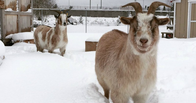 list,snow,goats,cute