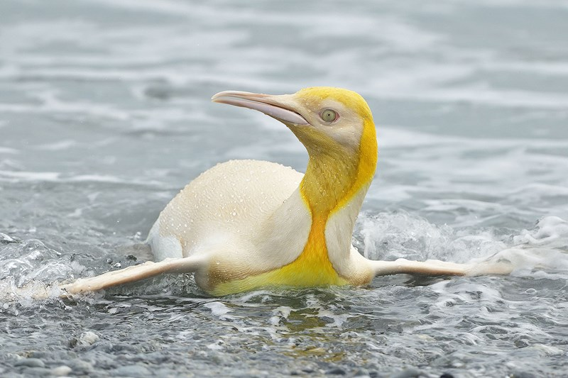 never-before-seen photographer - thumbnail of yellow penguin on ice