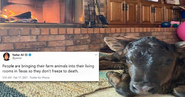 "thumbnail of cow by fireplace ""People are bringing their farm animals into their living rooms Texas so they don't freeze death."""