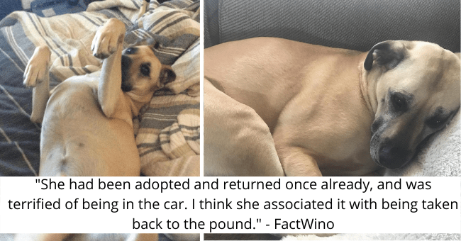 "viral imgur thread about a puppy who was left at the shelter once finding her forever home thumbnail includes two pictures of a dog including one with her belly up '""She had been adopted and returned once already, and was terrified of being in the car. I think she associated it with being taken back to the pound."" - FactWino'"