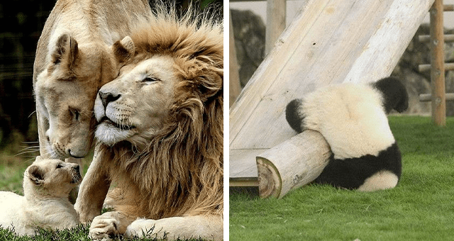 this week's collection of pictures that are worth more than 1000 words thumbnail includes two pictures including a family of lions and a panda falling
