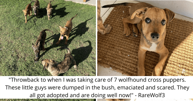"viral imgur thread about seven wolfhound puppies getting adopted thumbnail includes two pictures one of seven wolfhound puppies and another of one wolfhound puppy '""Throwback to when I was taking care of 7 wolfhound cross puppers. These little guys were dumped in the bush, emaciated and scared. They all got adopted and are doing well now!"" - RareWolf3'"