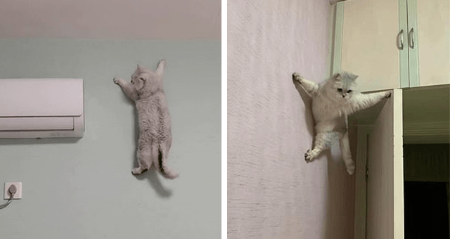 story about a cat in China climbing a wall effortlessly thumbnail includes two pictures of a cat climbing a wall.