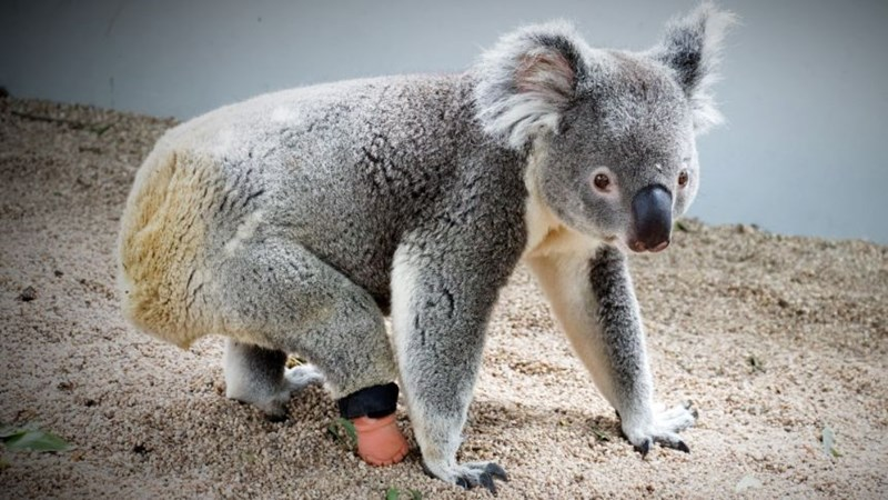 first koala to get a prosthetic foot - thumbnail of koala with prosthetic foot