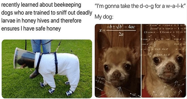 "this week's collection of dog memes thumbnail includes two memes including a dog in protective gear 'Dog - recently learned about beekeeping dogs who are trained to sniff out deadly larvae in honey hives and therefore ensures I have safe honey' and another of a confused dog thinking 'Dog - ""I'm gonna take the d-o-g for aw-a-l-k"" My dog: -b± \b° – 4ac 2 Co 2 COm r 2a (2 conr- 1)(con.r+ 1-0 or COS COS SON JT 2ェk、krZ 2ォk、 keZ'"