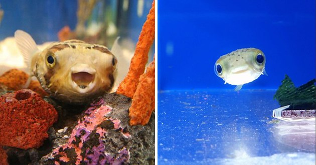 adorable images of baby puffer fish - thumbnail includes two images of smiling puffer fish