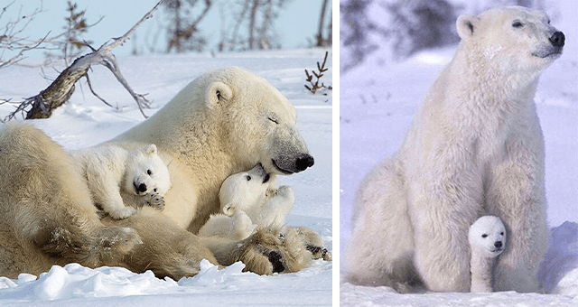 pictures of polar bears for international polar bear day thumbnail includes two pictures including one of a polar bear cub hiding under its mom and another of a mom lying with three polar bear cubs