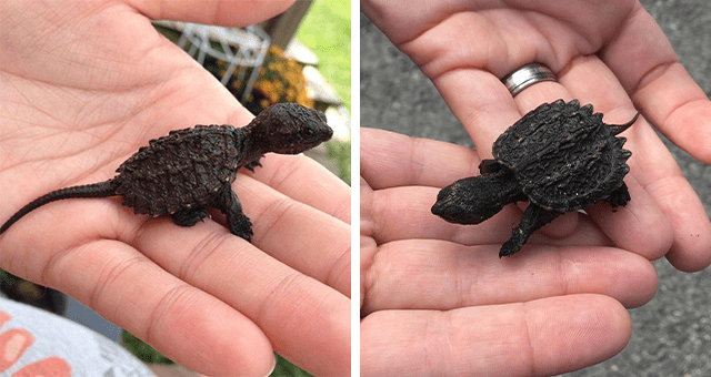 pictures of cute baby snapping turtles thumbnail includes two pictures of baby snapping turtles on someone's palm