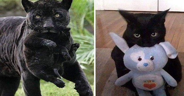 back cats vs black panthers - thumbnail of black panther with stuffed animal and pictures of black cat with stuffed animal