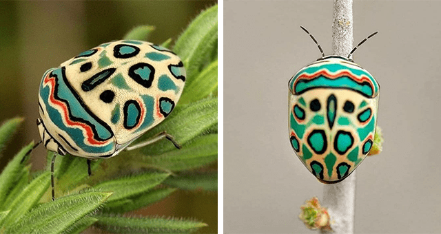 pictures of the Picasso bug thumbnail includes two up-close pictures of the Sphaerocoris annulus
