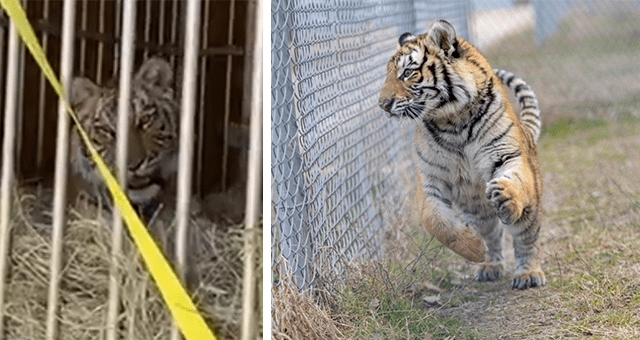 story about an abandoned pet tiger finding a forever home thumbnail includes two pictures including on of a caged tiger and one of a free tiger