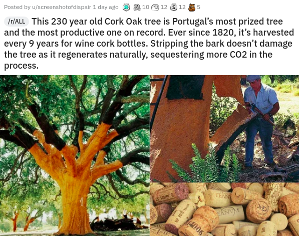 interesting intriguing and curious videos photos pics and pictures awesome wow today i learned art history animals archaeology excavation space | /ALL This 230 year old Cork Oak tree is Portugal's most prized tree and most productive one on record. Ever since 1820 s harvested every 9 years wine cork bottles. Stripping bark doesn't damage tree as regenerates naturally, sequestering more CO2 Posted by u/screenshotofdispair 1 day ago 6 2 10 e12 3 12 E 5 process. TEAN 4006 NO 26