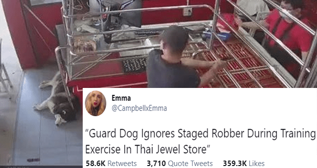 "viral tweets about a guard dog husky ignoring robber at robbery simulation thumbnail includes a picture including a chilling husky during a robbery 'Dog - Emma ... @CampbellxEmma ""Guard Dog Ignores Staged Robber During Training Exercise In Thai Jewel Store"" 7:05 AM - Mar 6, 2021 - Twitter for iPhone 54.9K Retweets 3,515 Quote Tweets 341.2K Likes'"