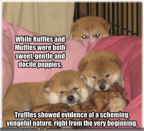 evil,gentle,puppies,scheming,shiba inu,sweet,vengeful