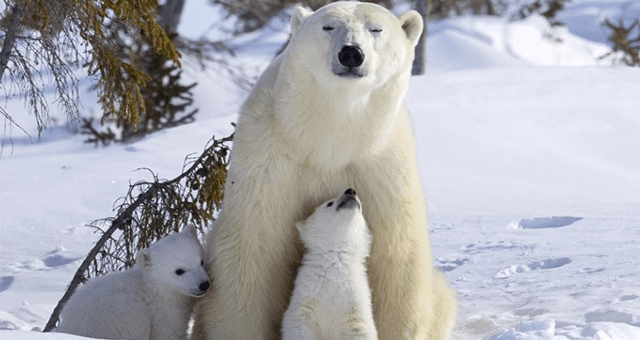 story about polar bear cubs leaving their den for the first time to play in snow thumbnail includes a picture of a polar bear and two polar bear cubs