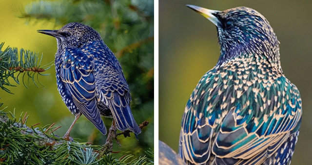 pictures of starlings thumbnail includes two pictures of the starling bird