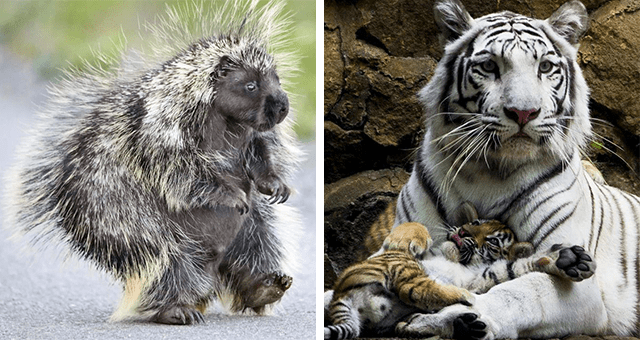 this week's collection of pictures that are worth more than 1000 words thumbnail includes two pictures including a porcupine walking and another of a tiger and a tiger cub chilling