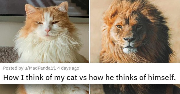"pics and vids of the cutest animals of the week - thumbnail of cat sitting proudly next to a majestic lion ""How I think of my cat vs how he thinks of himself."""