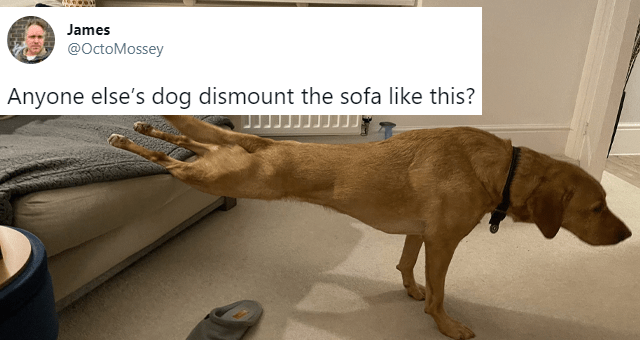 tweets about dogs too lazy to get off the couch properly thumbnail includes a picture of a dog with its back legs on the couch and its front legs on the floor and one tweet 'Brown - James @OctoMossey Anyone else's dog dismount the sofa like this? 9:19 AM - Mar 4, 2021 · Twitter for iPhone 1,135 Retweets 302 Quote Tweets 23K Likes'