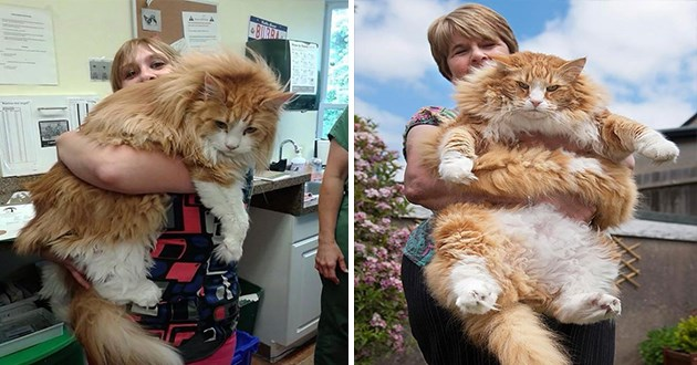 huge maine coon cats - thumbnail of big maine coon