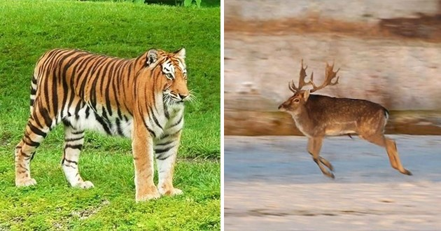 funny animal pics without a neck - thumbnail includes two images - one of a tiger without a neck and one of a deer without a neck