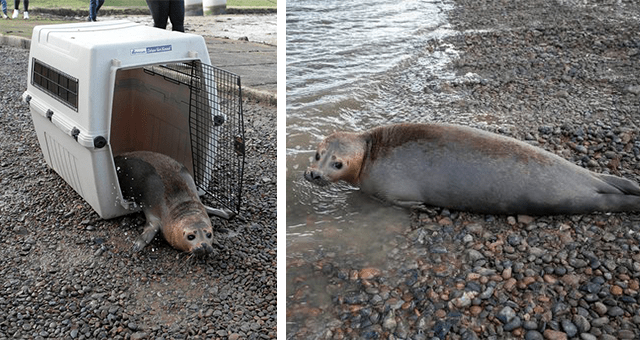 story about a seal that was rescued 4 times in 3 different countries thumbnail includes two pictures including a seal coming out of a carrier and a seal near the ocean