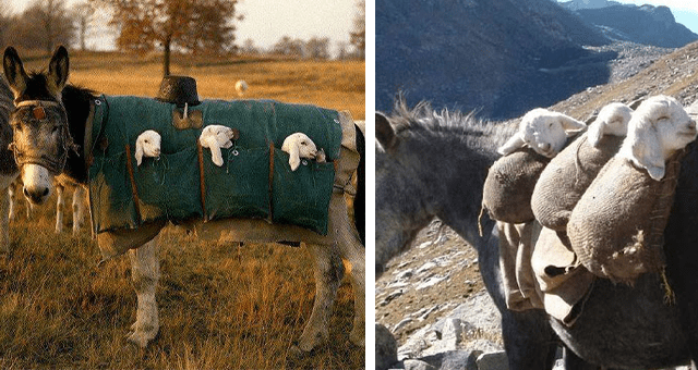 pictures of lambs being carried by donkeys thumbnail includes two pictures of lambs saddled onto a donkey's back