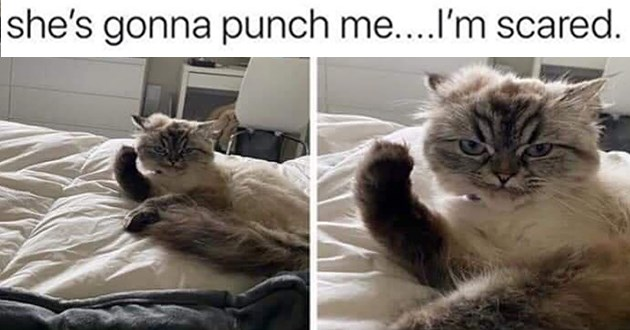 """fresh cat memes - thumbnail includes two pictures of the same cat about to punch """"she's gonna punch me..I'm scared."""""""
