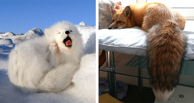 pictures of foxes thumbnail includes two pictures including an arctic fox yawning and another of a fox with a huge fluffy tail