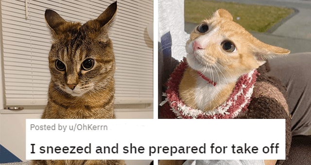 reddit posts of cats with their ears turned back thumbnail includes two pictures of cats with both of their ears turned back 'I sneezed and she prepared for take off u/OhKerrn'