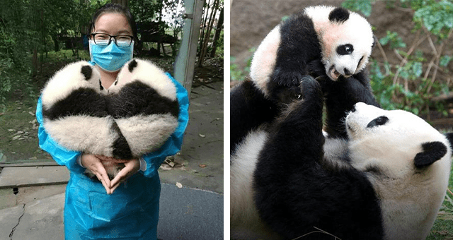 pictures of pandas for national panda day thumbnail includes two pictures including a mom panda holding up her cub and another panda caretaker holding two panda cubs
