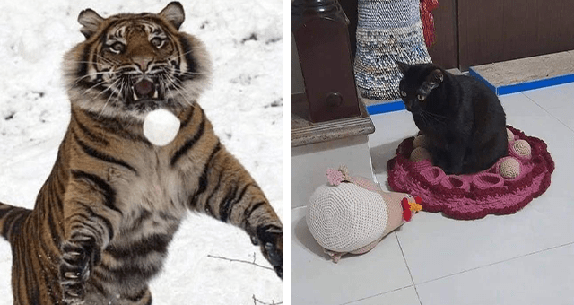 this week's collection of pictures that are worth more than 1000 words thumbnail includes two pictures including a tiger jumping after a snowball and a cat sitting in place of a toy chicken surrounded by toy eggs