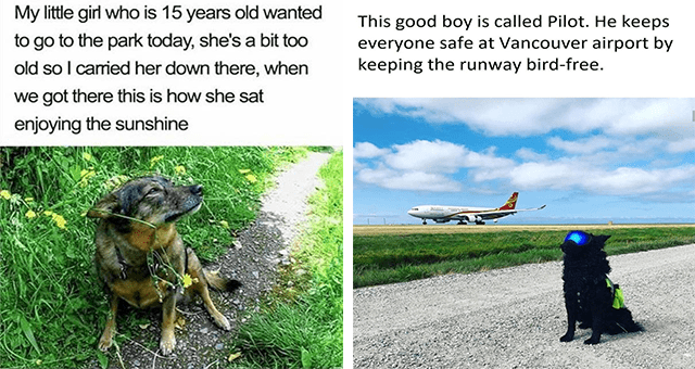 This week's collection of dog memes thumbnail includes two memes including a dog sitting calmly outside 'Dog - My little girl who is 15 years old wanted to go to the park today, she's a bit to0 old so I carried her down there, when we got there this is how she sat enjoying the sunshine' and a dog with goggles on and a plane in the background Cloud - This good boy is called Pilot. He keeps everyone safe at Vancouver airport by keeping the runway bird-free.'
